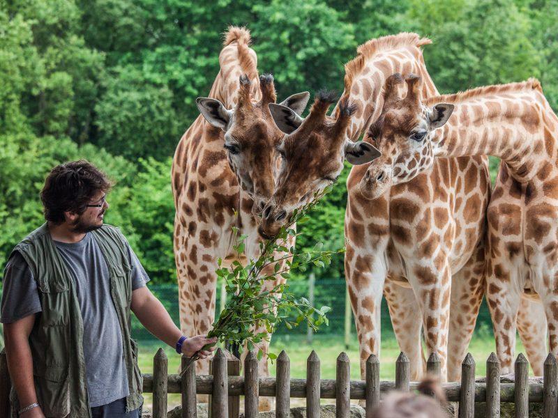 vignette Le gouter des girafes