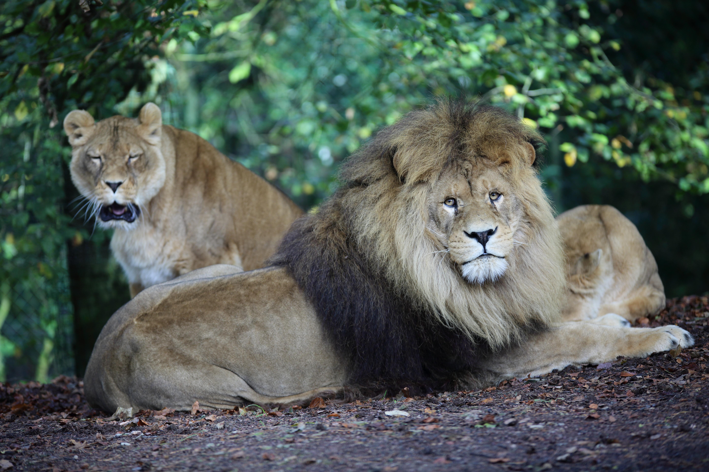 Lions bruns