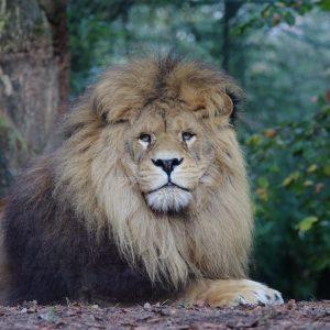 vignette LION BRUN