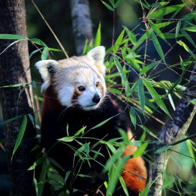 vignette Pandas roux