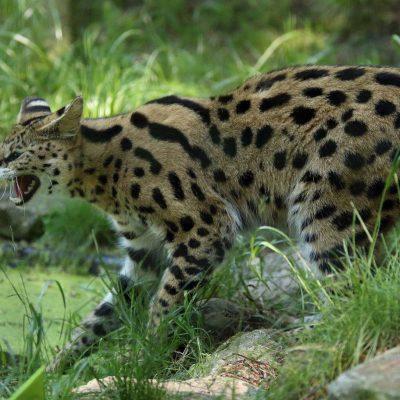 vignette Servals