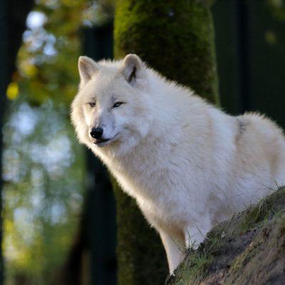 vignette Loups blancs