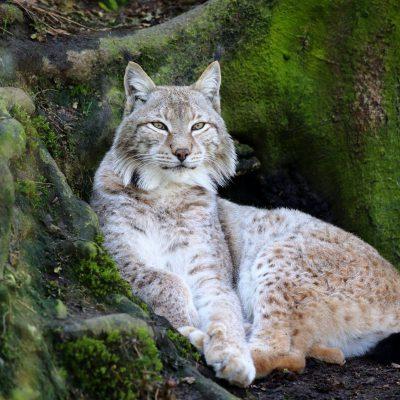 vignette Lynx