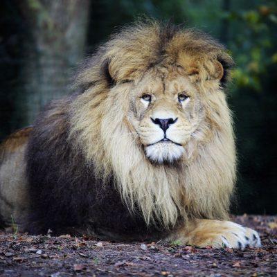 vignette Lions bruns