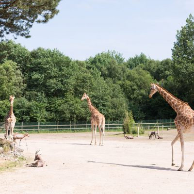 vignette Girafes