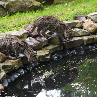 vignette Chats pêcheurs