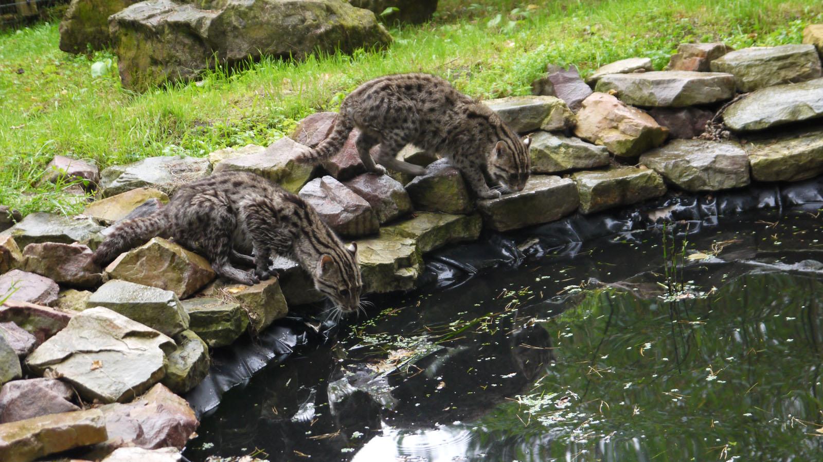 Chats pêcheurs