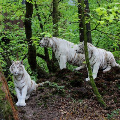 vignette Tigres blancs