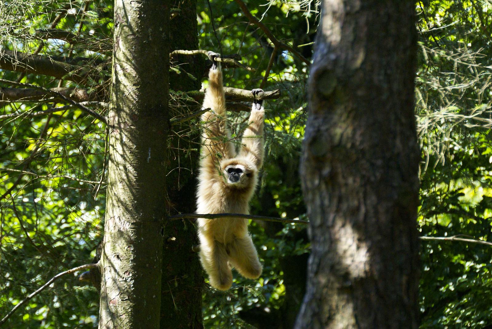 Gibbons Lar