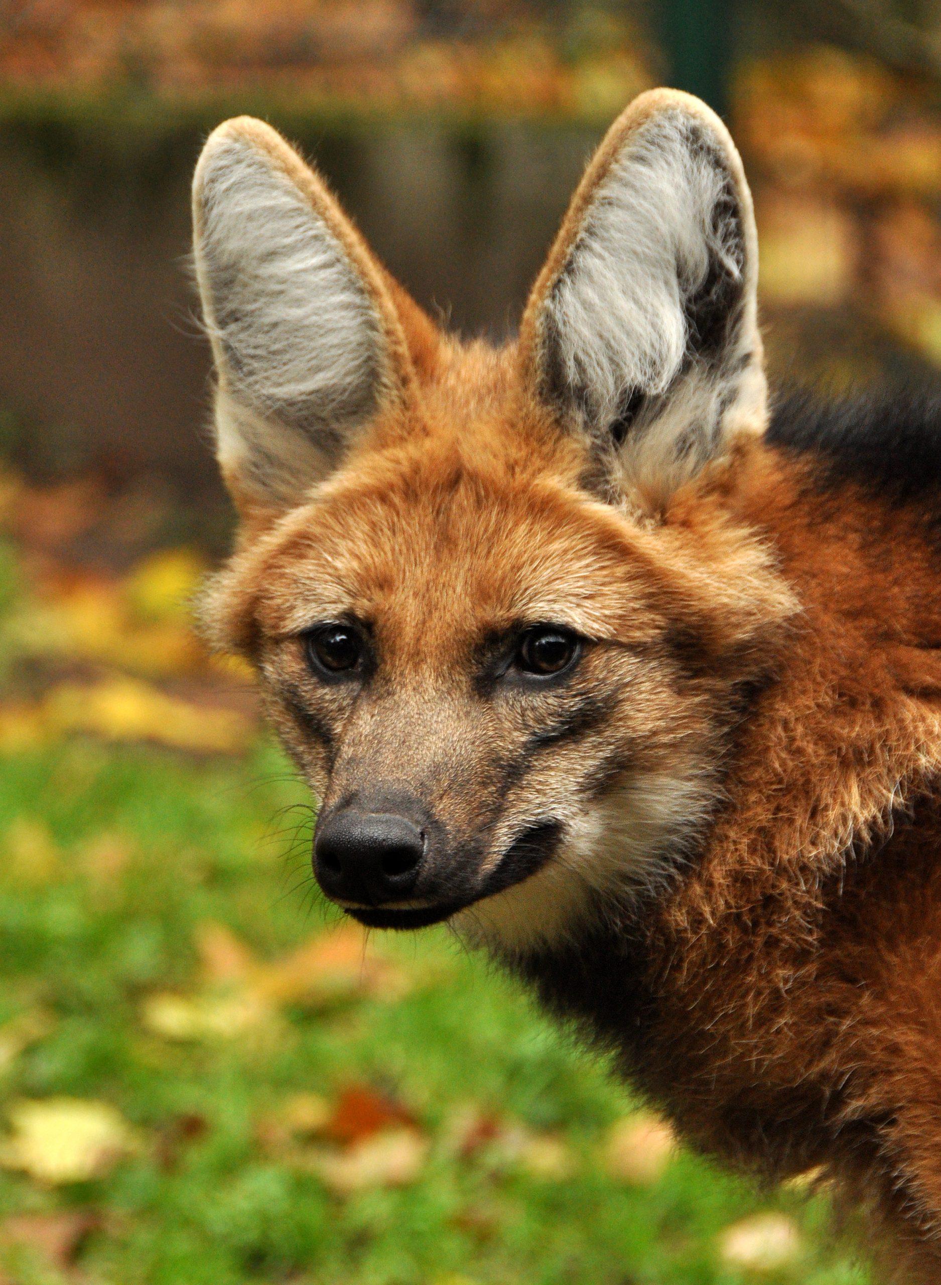 Loups à crinière